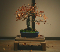 Autumn Bonsai